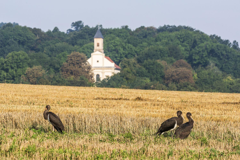 Fekete gólyák (Péliföldszentkereszt)k